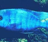 Blå Delfin, 21 stk