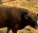 Kvæg, 2 Stk