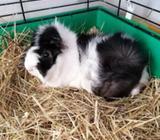 Marsvin, Kæledyr, 1 år