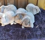 Kanin, Dværgvædder, 0 år