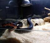 Slange, Hesteskosnog 1,0