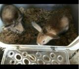 Kanin, Hermelin/løvehoved , 0 år
