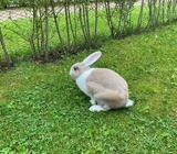 Kanin, 0 år