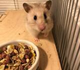 Hamster, Guld, 1 år