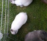 Kanin, Hermelin/blanding