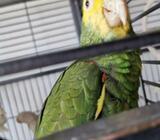 Papegøje, Dobbelt gulhoved amazone, 1 år